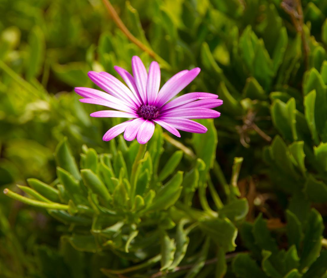 flor-lila